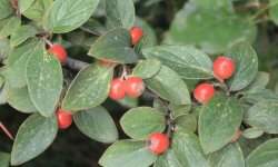 CotoneasterFranchetii_250x150